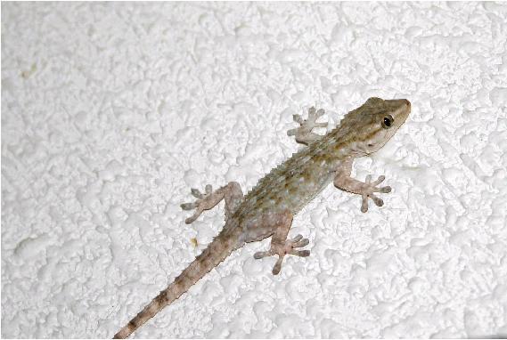 info acerca de la lagartija gecko